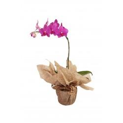 Vaso de orquídea phalaenopsis com embalagem simples