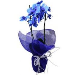 orquidea  phalaenopsis azul em tela