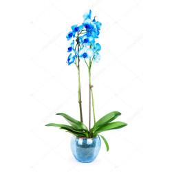 orquidea phalaenopsis azul em aquário de vidro