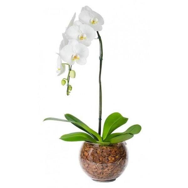 orquidea  phalaenopsis cascata cor branca